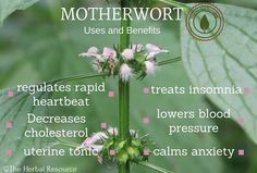 Information on the health properties, dosages, active substance, traditional uses and side effects of the medicinal herb motherwort (Leonurus cardiaca)