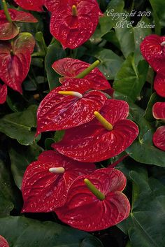 Anthurium (Red) Plant of the Main Conservatory at Longwood Gardens of Kennett Square, PA