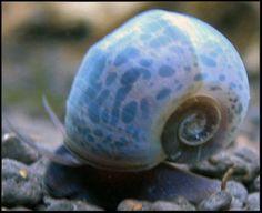 Ramshorn Snail .:. Planorbis rubrum .:. Freshwater Aquarium Snail Species Information Page