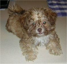 Chi-Poo (Chihuahua/Poodle)