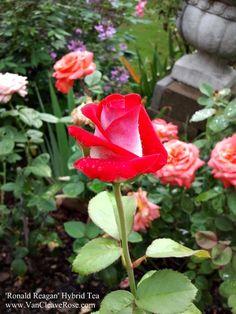 Ronald Reagan- Hybrid Tea. Garden Bloggers Bloom Day – August 2012 | The Redneck Rosarian