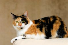 """Questions about calico cats run the gamut from: """"Do male calico cats exist?"""" to """"What's up with the calico cat personality?"""" We're here to answer a few."""