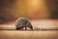 """Small Friends."" A curious (or hungry?) hedgehog approaches a tiny butterfly. Wonderful photo."
