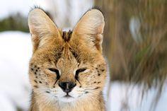 Serval Tiere