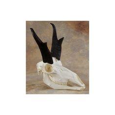 This replica antelope skull measures The horn sheath measures in. Scientific name is Antilocapra americana. Antelope Skull, University Of Calgary, Skull And Bones, Mammals, Horns, Bison, History, Social Studies, Painting