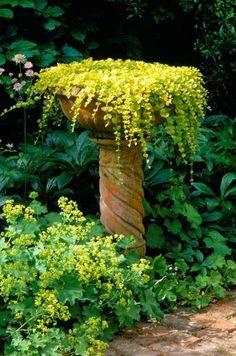 Lysimachia nummularia 'Aurea': Creeping Jenny planted in a bird bath Garden Whimsy, Garden Art, Garden Design, Unique Gardens, Beautiful Gardens, Beautiful Gorgeous, Alchemilla Mollis, Pinterest Garden, Raised Beds