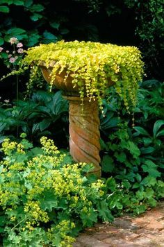 A bird bath planted with Creeping Jenny mimics a waterfall.