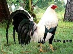 Resultado de imagen para gallos de pelea finos americanos