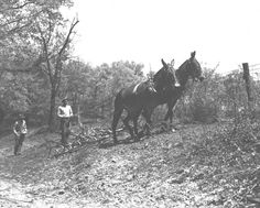 Plowing with a mule team, sowing lespedeza by hand. Sumner County, Tennessee. 1941