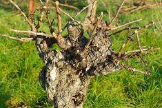 100% способ укоренения черенков винограда по методу Н. Курдюмова Grape Tree, Vines, Arbors, Grape Vines