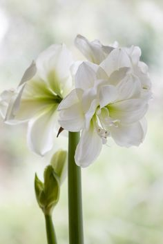 105 Best Hippeastrum Images Beautiful Flowers Florals Flowers