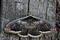 Saturnia pyri / Giant Peacock Moth