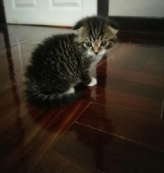 1 month old of khluy kitty