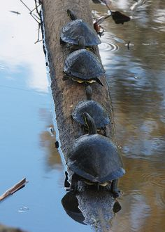 Peninsula cooter turtles (by ronboring).