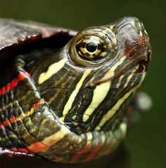 painted turtle - Google Search