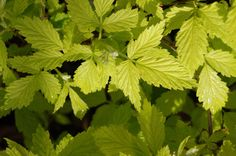 RUBUS IDAEUS 'AUREUS' from Secret Garden Growers Golden Leaves, Raves, Creepers, Shrubs, White Flowers, Garden, Plants, Climbing Vines, Shade Shrubs