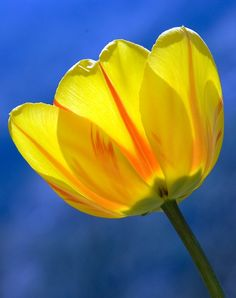 Beautiful Yellow Flower Pictures for Android Yellow Flower Pictures, Flower Images, Flower Iphone Wallpaper, Spring Wallpaper, Iphone Wallpapers, Yellow Spring Flowers, Yellow Tulips, Yellow Springs, Organic Gardening Tips