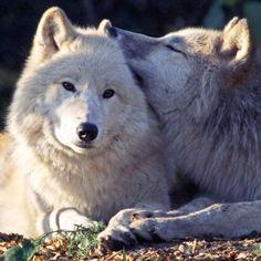 wolves- so precious!