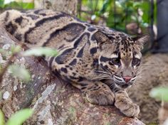 Leopard Spots, Snow Leopard, Black Footed Cat, Ocean Ecosystem, Serval Cats, Clouded Leopard, Siberian Tiger, All About Cats, Leopards