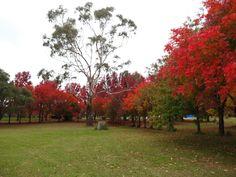 Colour surrounding a solitary gum tree
