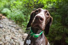 German Shorthaired Pointer (GSP), gus These are the best dogs. That face!