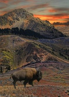 in Yellowstone National Park, Wyoming.Bison in Yellowstone National Park, Wyoming. Beautiful World, Beautiful Places, Beautiful Pictures, Amazing Places, Beautiful Beautiful, Amazing Photos, Absolutely Gorgeous, All Nature, Amazing Nature