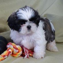 Shih Tzu Puppies For Sale Puppyspot Shihtzu Shih Tzu Puppy Shih Tzu Puppies For Sale