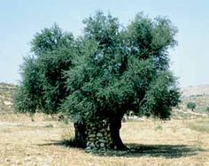 Olive Tree - Israel's national tree,,,can't build anything out of this wood.....  the Crusaders found out!