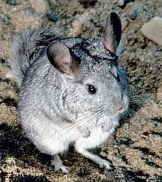 Chinchillas are crepuscular rodents, slightly larger and more robust than ground squirrels, native to the Andes mountains in South America. They live in colonies at high altitudes (up to 15,000 ft/4,270 m). Historically, they lived in the Andes of Bolivia, Chile, and Peru, but today colonies in the wild remain only in Peru and Chile. Along with their relatives, viscachas, they make up the family Chinchillidae.