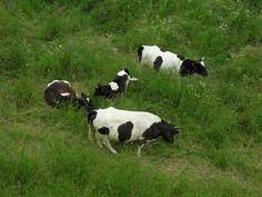 """Préparation d'une teambuilding """"Dîtes cheese"""" à Saint Germain en Laye. Animation avec observation de vaches Pie Noire, race en programme de préservation et d'amélioration"""