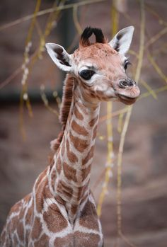 Keepers and conservationists at the United Kingdom's Chester Zoo are celebrating the birth of a rare Rothschild's Giraffe calf - the world's most endangered subspecies of Giraffe.   http://www.zooborns.com/zooborns/2013/03/rare-rothschilds-giraffe-born-at-chester-zoo.html