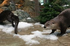 Otters check out the new snow in their exhibit at the Aquarium of the Bay. Photo: Liz Hafalia / The Chronicle / ONLINE_YES Monterey Bay Aquarium, River Otter, Brown Bear, Otters, Exhibit, Bay Photo, Snow, Ferret, Seafood