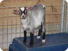 Union, MO - Goat. Meet SHASTA, a pet for adoption. http://www.adoptapet.com/pet/11375274-union-missouri-goat