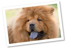 Chow Chows can be recognized by their unique blue or black tongues. This ancient Chinese dog may be stubborn but are devoted to their families. They have thick, fluffy coats and prefer to live in cooler climates.