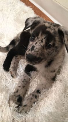 German Shepherd / Australian Shepherd puppy mix (Husky Mix German Shepherd) welpen Calcium For Dogs: Why Is It Important And How Can They Get More? Cute Baby Animals, Animals And Pets, Funny Animals, Small Animals, Cute Dogs And Puppies, Doggies, Husky Puppy, Husky Corgi Mix Puppies, Cute Dog Mixes