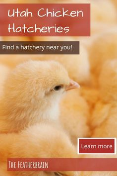 Find chicken hatcheries near you in the state of Utah,  and learn which breeds they carry. Whether you want rare, friendly heritage breeds, the best egg layers, or beautiful giant breeds, you'll learn where to find them here. Types Of Chickens, Raising Chickens, Chicken Breeds, Backyard Chickens, Chicken Eggs, How To Know, Utah, Layers, Pictures