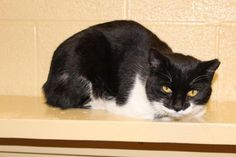 Flo/Domestic Short Hair-black and white • Young • Female • Small Action For Animals Inc. Humane Society Latrobe, PA