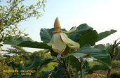 Magnolia delavayi