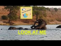 travel game of elephants in the chobe river Botswana africa, family stro...