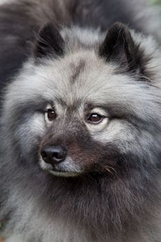 https://flic.kr/p/6Z7tkt | Willow - Keeshond | Willow belong to some friends who live in North Carolina.