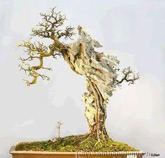 bộ sưu tập những cây bonsai bám đá đẹp | caycanhthanglong.vn