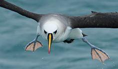 Foto albatroz-de-nariz-amarelo (Thalassarche chlororhynchos) por Renato Grimm | Wiki Aves - A Enciclopédia das Aves do Brasil