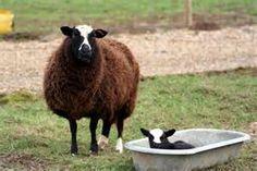 balwen welsh mountain sheep - Bing Images Pet Sheep, Welsh, Comme, Goats, Bing Images, Animals, Sheep, Animales, Welsh Language