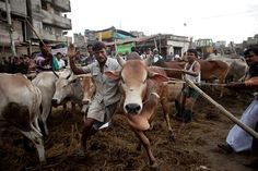 Men struggle to control a cow at a cattle market on October 15, 2013 in Dhaka, Bangladesh