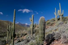 Saguaro Cactus, Tonto Basin - AZ   Flickr - Photo Sharing!