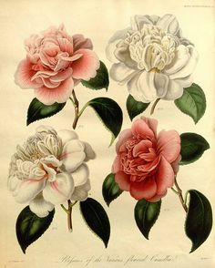 Camellia japonica L. var. hort. / Transactions of the royal horticultural society of London, vol. 7: t. 14 (1830) [Withers]