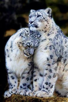 snow leopard cuddle