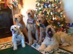 The family terriers! Missi, Gracie and Paisley ( Airedales) and Bailey and Benny ( Wheaten Terriers).