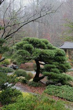 """Juniperus chinensis """"Pfitzeriana""""  #japanesegardening"""
