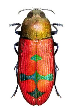 Castiarina aureola  I AM SURE SOMEONE HAS PAINTED THIS LITTLE BUG, HE LOOKS TOO BEAUTIFUL, TO BE REAL!! ;).  ⭕️